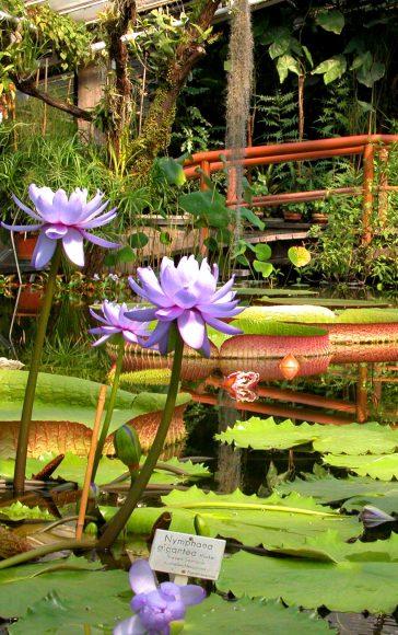 Botanischer Garten: Die Victoria kehrt zurück!