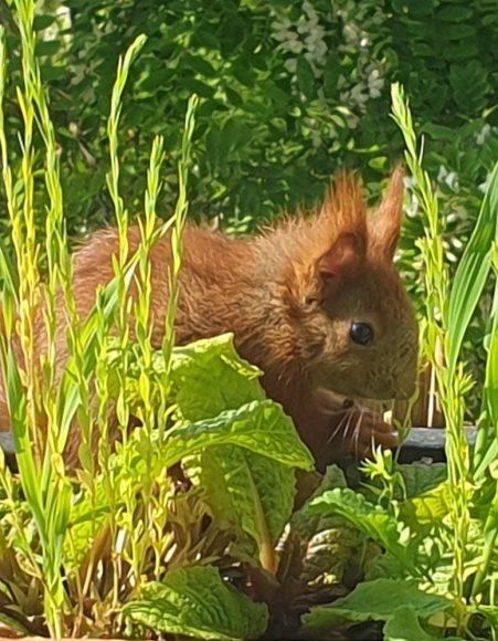 Maya legt nach: Eichhörnchen-Mama bekommt Junge im Küchenfenster!