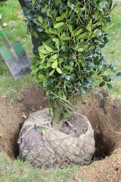 """33 """"Bäume des Jahres"""" säumen Beethovenstraße in Teltow: Jüngste Pflanzung am heutigen """"Tag des Baumes"""" ist die Stechpalme"""